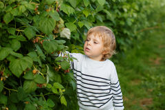 Little boy with fresh raspberries on organic self pick farm. Beautiful boy with raspberries on organic self pick farm in Germany Royalty Free Stock Photos