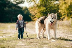 Little boy goes for walk with malamute dog in forest. Little boy goes for walk with malamute dog on leash along forest road. He holds leash in his hand Stock Image