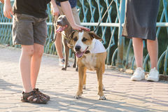 Little boy gratifies friendly staffordshire terrier dog outdoor Royalty Free Stock Images