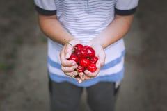Little boy hands holding fresh cherry stock photo