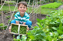 Little boy harvesting beans Royalty Free Stock Images