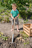 Little boy harvesting potatoes Royalty Free Stock Images