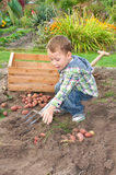 Little boy harvesting potatoes Royalty Free Stock Image