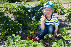 Little boy harvesting strawberries. In the garden Royalty Free Stock Photos