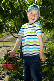 Little boy harvesting strawberries. From the garden Royalty Free Stock Images