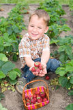 Little boy harvesting strawberries. Little happy boy collects strawberries from the garden Stock Photos