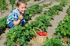 Little boy harvesting strawberries Royalty Free Stock Image