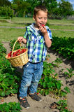 Little boy harvesting strawberries. And nibbles Royalty Free Stock Images