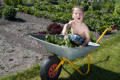 Little boy harvests vegetables from the garden Stock Images