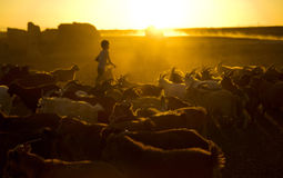 Little Boy Herding Goats at Dusk Stock Photos