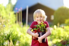 Little boy holding seedling in plastic pots on the domestic garden at summer sunny day. Mommy little helper royalty free stock photography