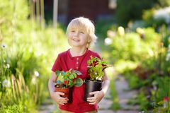 Little boy holding seedling in plastic pots on the domestic garden at summer sunny day. Mommy little helper stock image