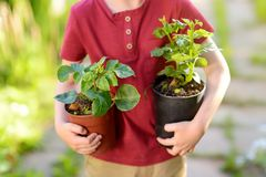 Little boy holding seedling in plastic pots on the domestic garden at summer sunny day. Mommy little helper royalty free stock images