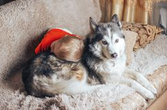 Little boy hugging husky dog at home stock image