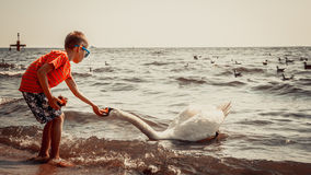 Little boy kid on beach have fun feeding swan. Stock Photo
