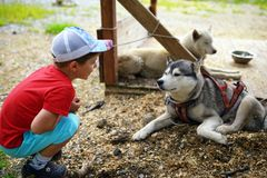 Little boy looking on husky Stock Images