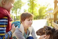 Little boy and mature woman are petting sheep. Family in petting zoo. Kid having fun in farm with animals. Childsand animals stock photo