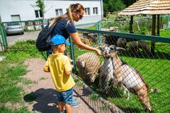 little boy with mother feeding goats in contact zoo stock photos