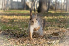 Squirrel holds on to heart royalty free stock photography