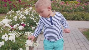 Little boyis playes with roses near the rose bush. Little boy near the rose bush stock footage
