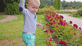 Little boyis playes with roses near the rose bush. slow motion. Little boy near the rose bush stock footage