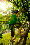 Little boy in an orchard. Little boy climbing a ladder in an orchard Stock Image