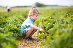 Little boy  on organic strawberry farm Royalty Free Stock Photo