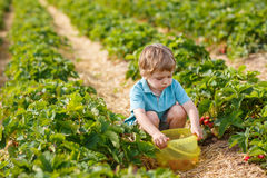 Little boy  on organic strawberry farm Stock Photography
