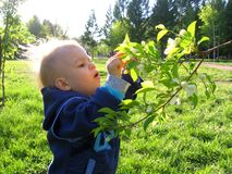 A little boy in the Park walks examines a tree branch with flowers stock photo