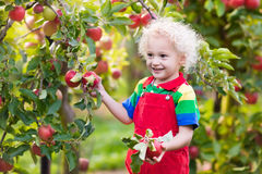Little boy picking apple in fruit garden Royalty Free Stock Image