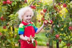 Little boy picking apple in fruit garden Stock Images