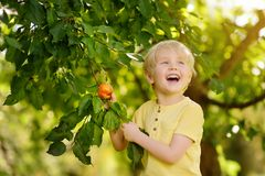 Little boy picking apples from tree royalty free stock photos