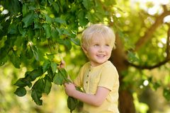 Little boy picking apples from tree stock image