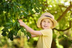 Little boy picking apples from tree stock photo