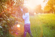 Little boy picking berries Royalty Free Stock Image