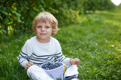 Little boy picking blueberry on organic self pick farm Stock Photos