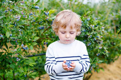 Little boy picking blueberry on organic self pick farm Stock Photo