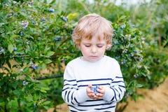 Little boy picking blueberry on organic self pick farm Stock Photo