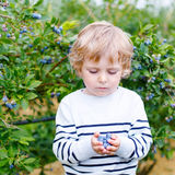 Little boy picking blueberry on organic self pick farm Stock Images