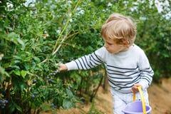 Little boy picking blueberry on organic self pick farm Stock Images