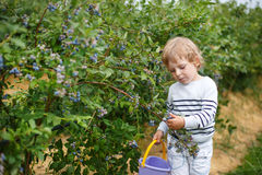 Little boy picking blueberry on organic self pick farm Royalty Free Stock Photography