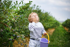 Little boy picking blueberry on organic self pick farm Stock Photography