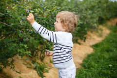 Little boy picking blueberry on organic self pick farm. In Germany Royalty Free Stock Image