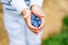 Little boy picking blueberry on organic self pick farm Royalty Free Stock Photo