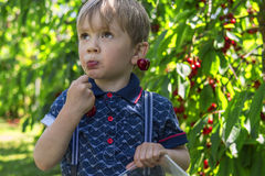 Little boy picking and eating cherries Royalty Free Stock Image