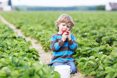 Little boy picking and eating strawberries on berry farm. Happy caucasian little boy picking and eating strawberries on berry farm in summer Stock Photos