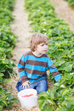 Little boy picking and eating strawberries on berry farm. Happy caucasian little boy picking and eating strawberries on berry farm in summer Royalty Free Stock Photo