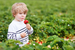 Little boy picking and eating strawberries on berry farm. Happy caucasian little boy picking and eating strawberries on berry farm in summer Royalty Free Stock Photos