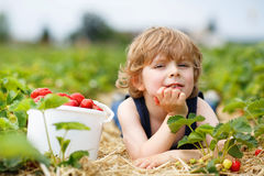 Little boy picking and eating strawberries on berry farm. Happy caucasian little boy picking and eating strawberries on berry farm in summer Stock Photo