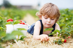 Little boy picking and eating strawberries on berry farm. Happy caucasian little boy picking and eating strawberries on berry farm in summer Stock Photography